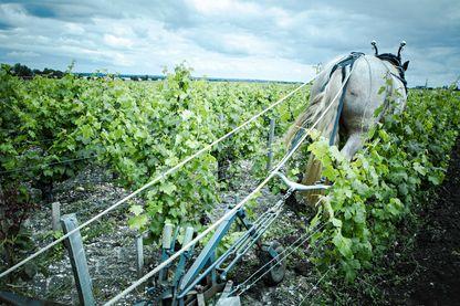 Le labour des vignes avec un cheval de trait est plus précis