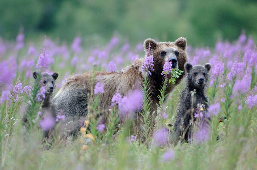 Photo de Vincent Munier, Femelle d'ours brun et ses petits, Kamtchatka (Russie), 2006