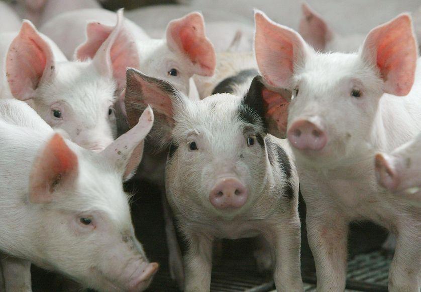 Un élevage de cochon à Schwerdorff
