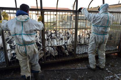 Des employés se préparent à massacrer une partie de ces 32 000 canards, à Belloc-Saint-Clamens, dans le sud-ouest de la France, le 6 janvier 2017, lors de la première vague d'un abattage d'oiseaux de masse après la détection de la grippe aviaire.