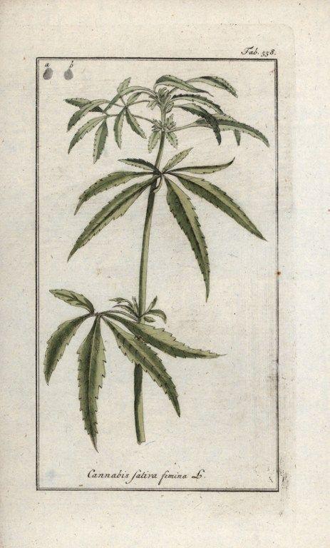 Chanvre ou cannabis, femelle. Lithographie extraite de l'Herbier des plantes médicinales  de Johannes Zorn (1739-1799)