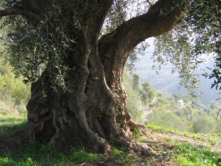 Jacqueline Bellino à dans son oliveraie un arbre millénaire, son préféré. Le voici