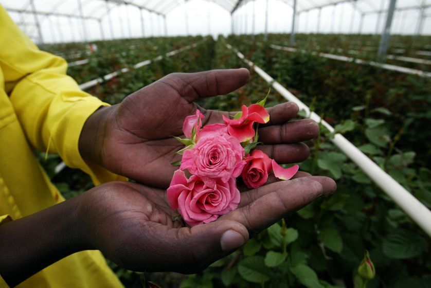 Plantation de roses au Kenya