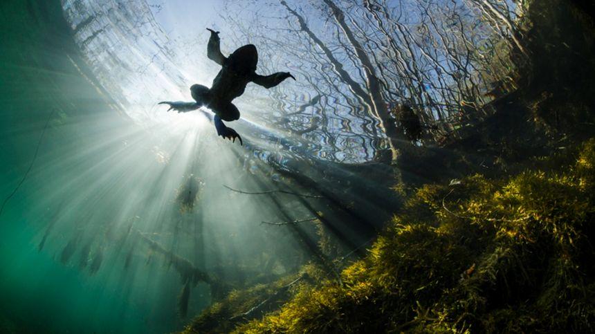 Crapaud commun nageant dans le Lamalou