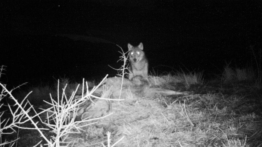 Le loup pris en flagrant délit, vendredi 10 février un peu après 22h.