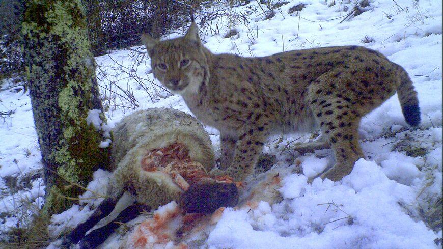 L'animal a été pris en photo par un piège posé par les agents de l'ONCFS, l'Office national de la chasse et de la faune sauvage.