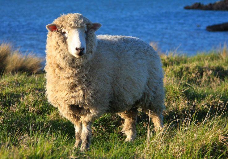 La brebis Dolly, 1er mammifère cloné en 1996