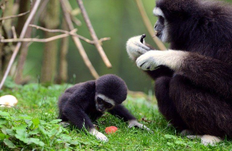 Photographie, prise le 26 octobre 2012 au zoo de Doue La-Fontaine, d'un bébé gibbon né récemment et de sa mère.