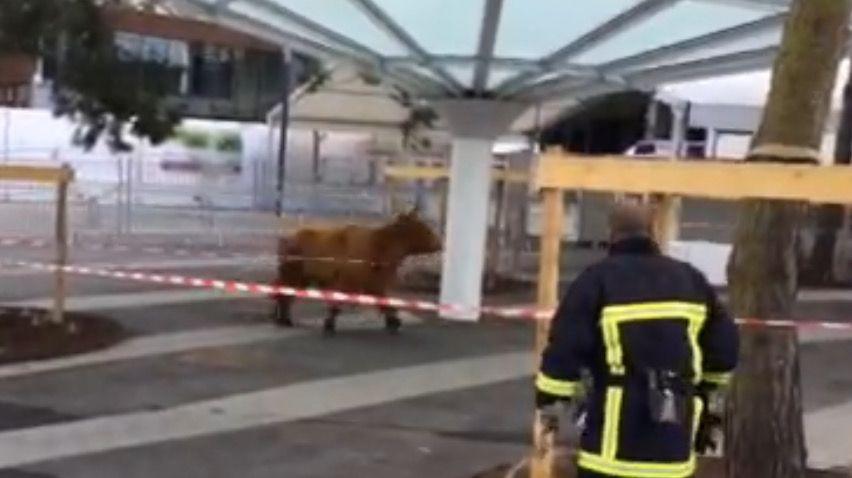 Cette vache du Jura a donné du fil à retordre aux personnels du Salon.