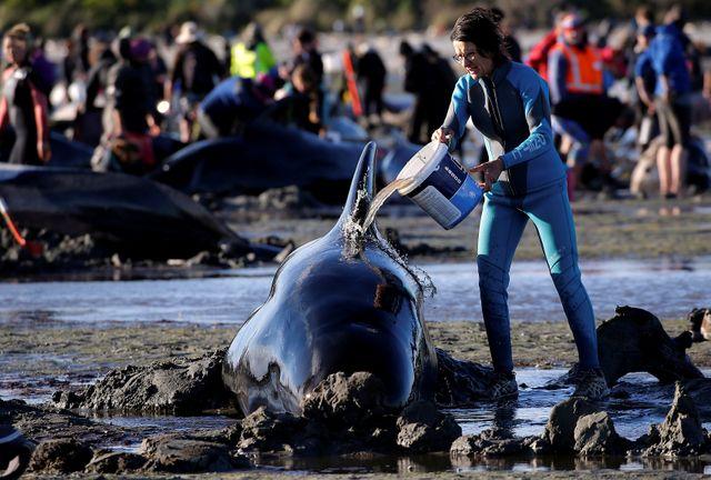 Les volontaires ont essayées de repousser les baleines vers le large