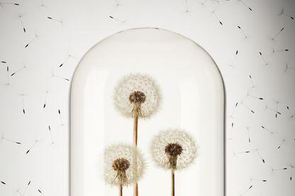 Fleurs de pissenlit exposées dans une cloche