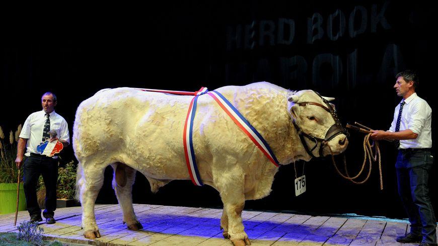 Le taureau Holiday, belle bête de 1600 kilos, en 2016 au sommet de l'élevage en Auvergne
