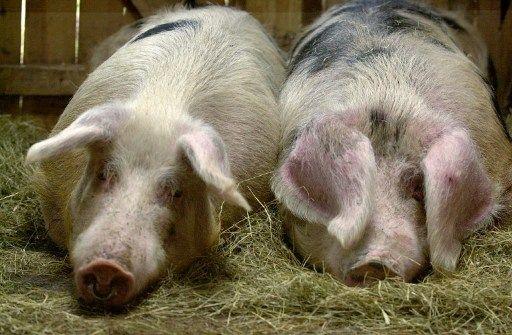 Deux cochons de Bayeux posent, le 04 février 2002, dans l'exploitation d'André Brision, président du syndicat des éleveurs du cochon de Bayeux, au domaine du Houvre, près de Pont-l'Evêque.