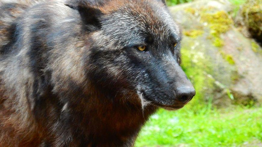 Un loup tel que celui décrit par les villageois de Saint-Agnès (Illustration).
