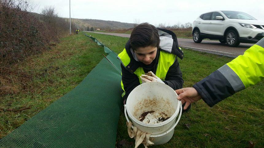 Une barrière-piège installée en bord de route permet de récupérer les amphibiens dans des seaux enterrés, afin de les aider à traverser