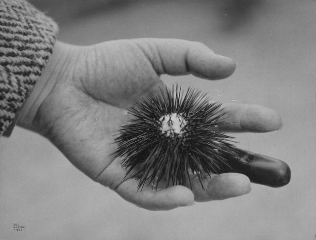 Sans titre (Main de Tombros avec oursin) 1931