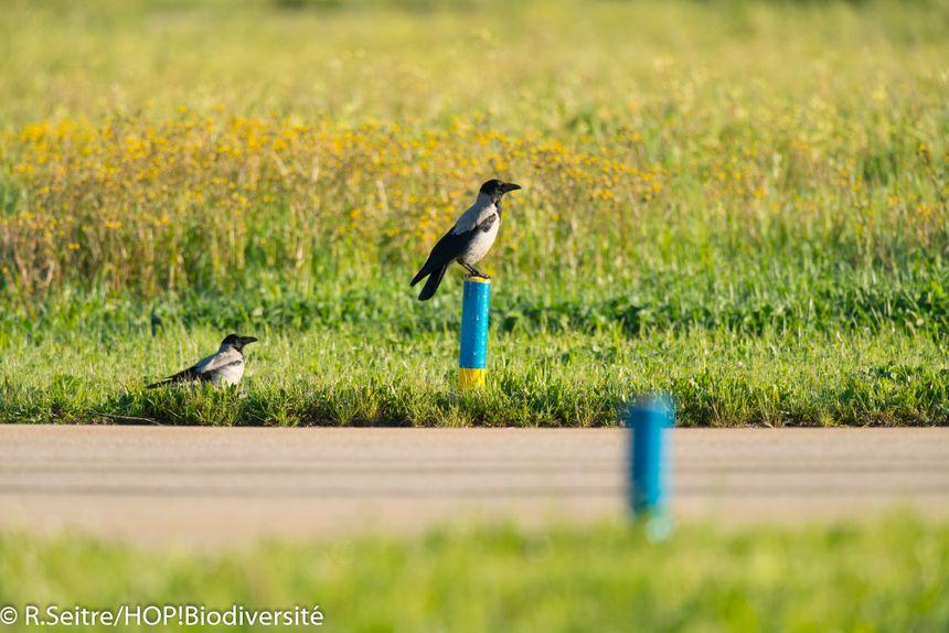 70 espèces d'oiseaux ont été recensées sur l'aéroport d'Ajaccio