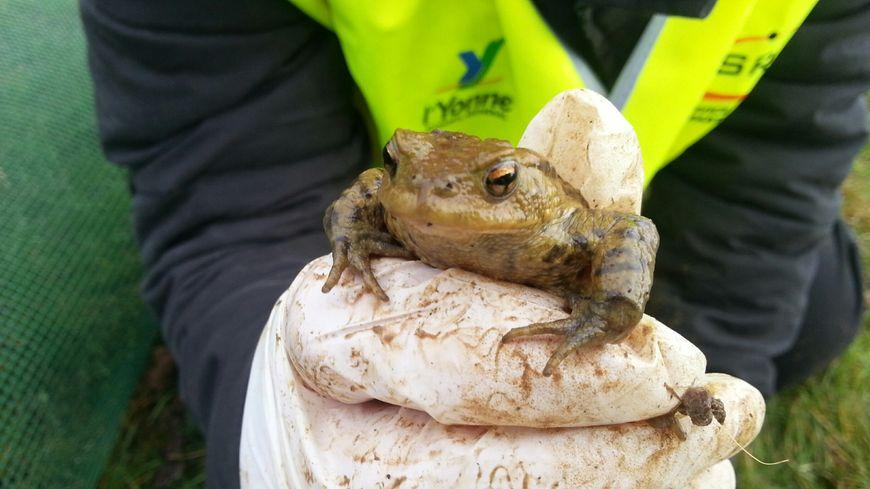Un crapaud commun sauvé par l'association SOS amphibiens (Yonne)