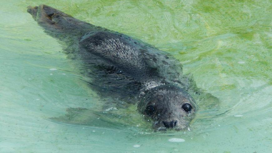 Nausicaa est sortie de quarantaine pour rejoindre la piscine du CHENE