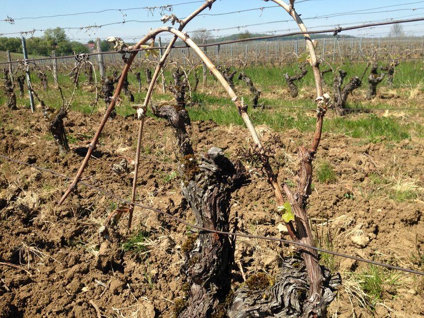 En 2014 et 2015, les vignerons du Jura avaient déjà essuyé de mauvaises récoltes.