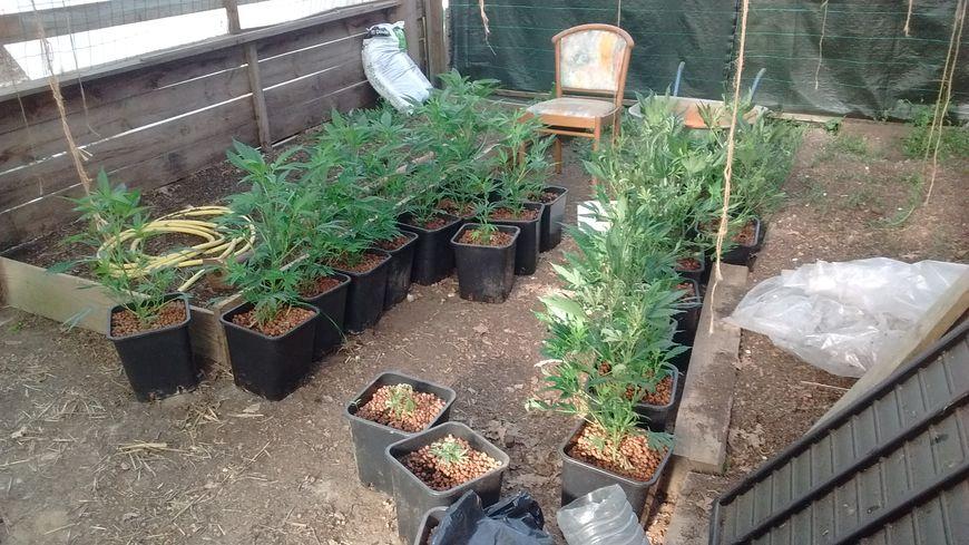 Photo prise par la police d'une partie des plants de cannabis découverts dans le jardin d'un retraité de Saint-Nazaire