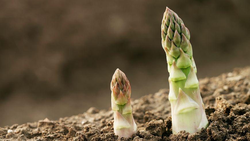 L'asperge: une plante originaire de l'est du bassin méditerranéen.