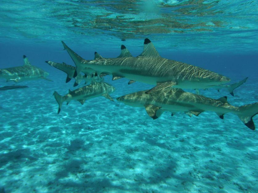 Requins à pointes noires à Bora Bora