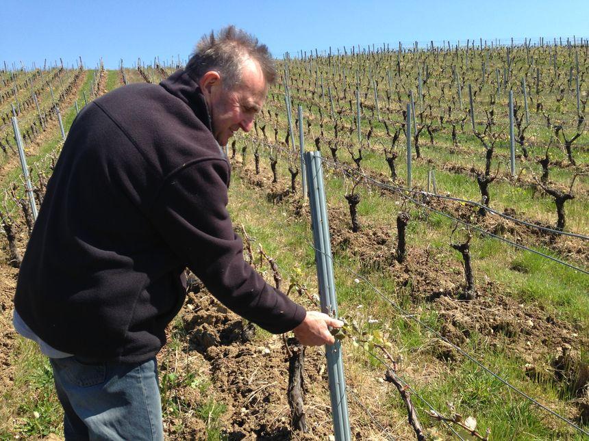 Sur la parcelle de Joël Morin, beaucoup de bourgeons sont fichus.