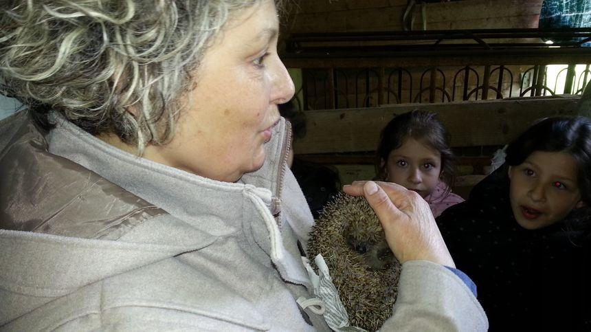 Une petite hérissonne sauvée par l'association créée par Anne Dupuy à Massay, près de Vierzon