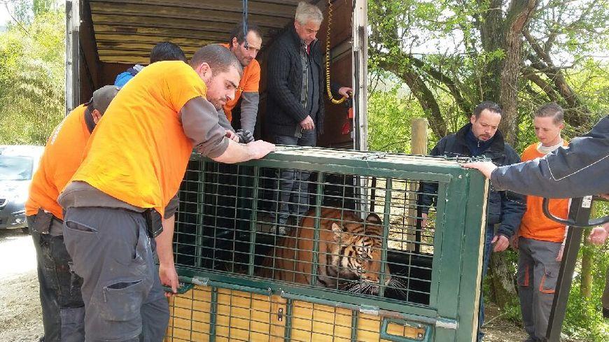 Les tigres ont voyagé dans des cages dans la remorque d'un camion.