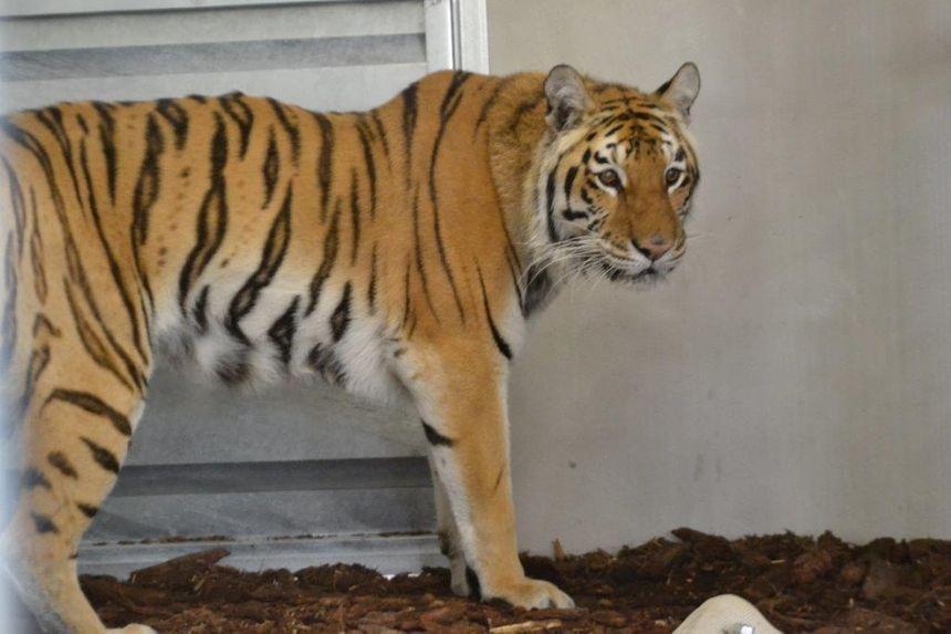 Mitsy, la nouvelle tigresse du Parc de l'Auxois.