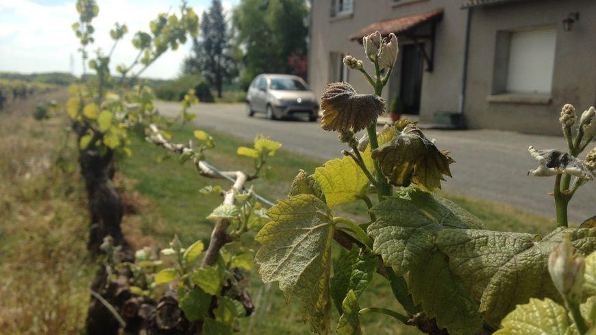 Les feuilles marrons vont tomber, sans faire de grains de raisins