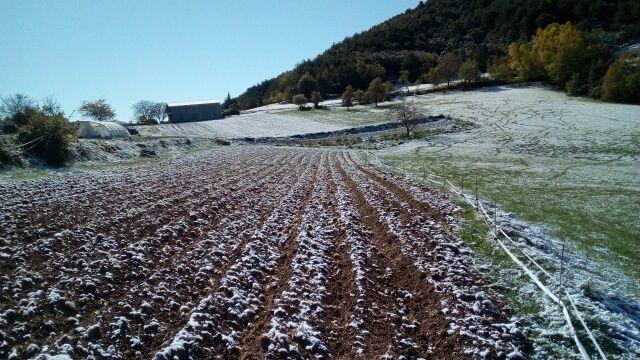 Bien au chaud sous la terre, les pommes de terre ont échappé au gel et aux sangliers dont on cvoit les traces à droite et au fond.