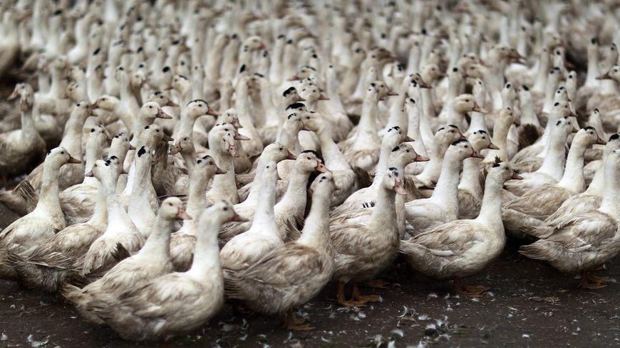 Les 700 canards et 2000 canetons de l'exploitation ont été euthanasiés