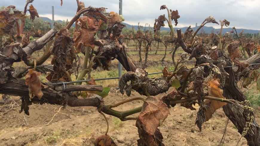 Le gel de printemps a causé des dégâts dans les vignes du sud-Ardèche, notamment à Beaulieu.