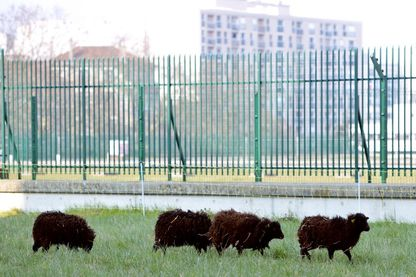 Moutons en train de paître sur un terrain appartenant aux Archives de Paris en 2013
