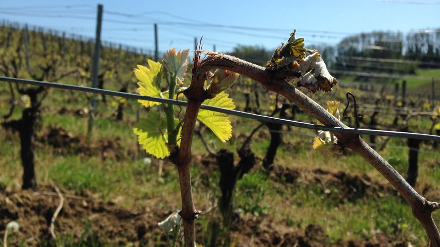 Le gel a durement touché les vignobles du Jura.