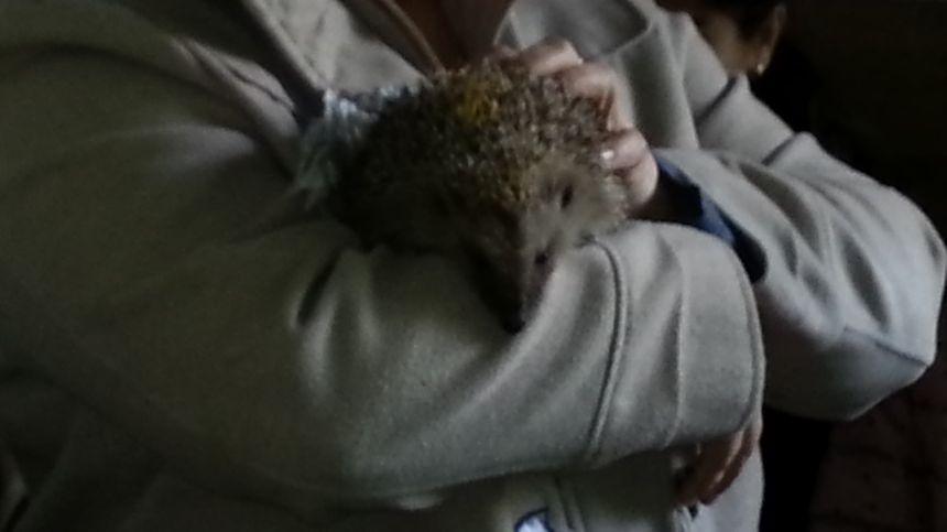 Cette petite femele ne pesait que 400 grammes quand quelqu'un l'a amenée à la clinique. Elle a doublé son poids et peut aujourd'hui reprendre sa liberté