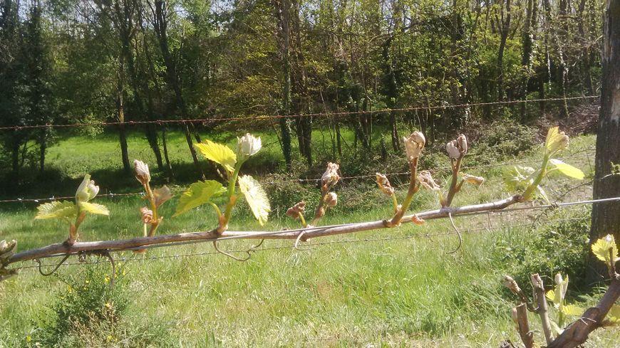 Certains bourgeons (les 2ème, 3ème et 4ème en partant de la droite) ont déjà été touchés par le premier gel de printemps