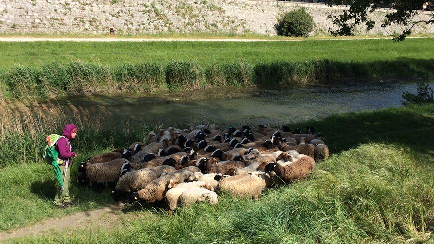 Près de 350 brebis vont se relayer à Montélimar jusqu'en septembre pour nettoyer les berges du Roubion et du Jabron ainsi que pour lutter contre l'ambroisie.
