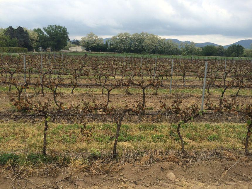 Dans la plaine de Jalès, en Ardèche, certaines parcelles de vignes sont entièrement ravagées par le gel de printemps.