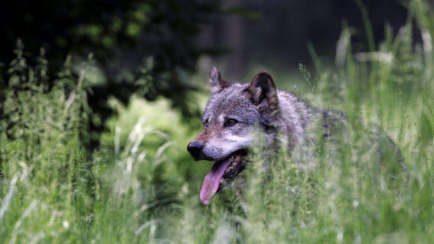 """Le quota national de 36 loups à """"prélever"""" a été atteint le 5 avril."""