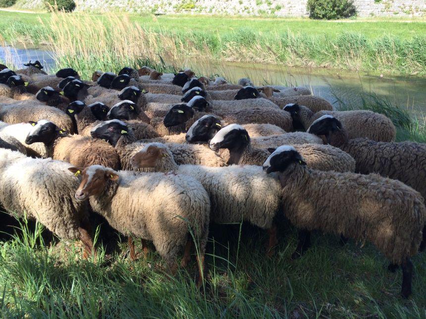 Les premières brebis sont arrivées ce lundi à Montélimar pour débroussailler les berges du Roubion et du Jabron.
