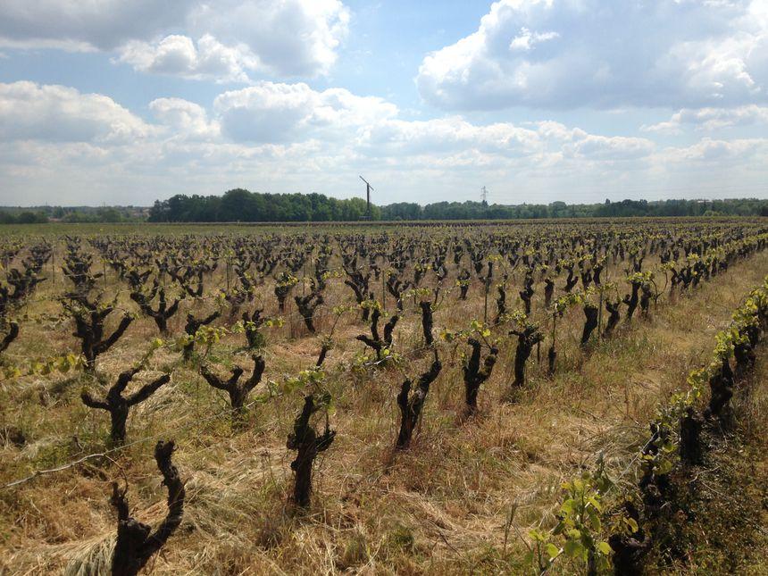 Dans ces 66 hectares, le propriétaire estime avoir perdu 95% de la récolte