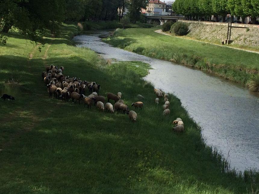 Les premières brebis arrivées cette année à Montélimar pour lutter contre l'ambroisie.