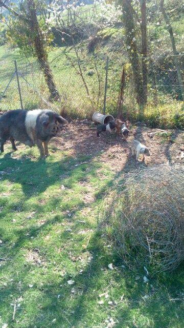 Basque, et cochon préhistorique: mangalitza (cochon laineux adaptées à l'altitude) son élevés à la Basse Cour des Granges