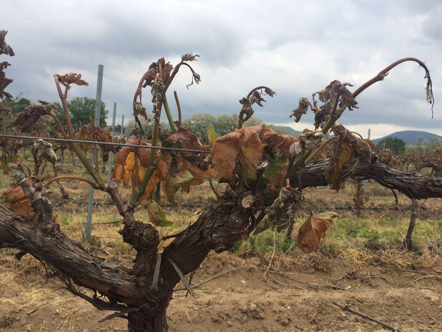 Les vignes touchées par le gel de printemps à Beaulieu en Ardèche.