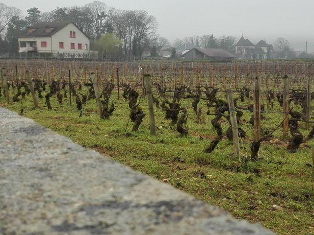 Pieds de vigne à Pommard (Bourgogne)