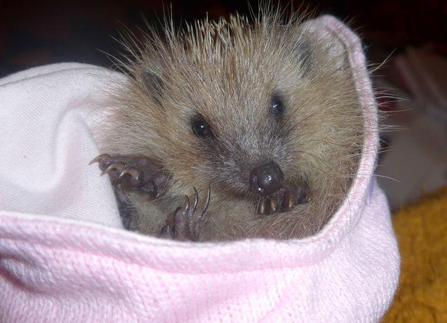 Capucine, l'un des hérissons sauvé par des bénévoles. Elle a été relâchée dans la nature lorsqu'elle a atteint le poids de 750 grammes