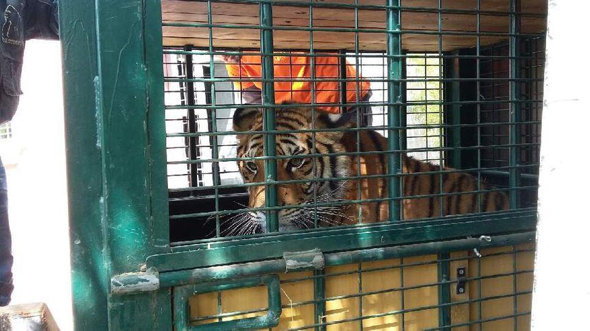 Venghaï est le bébé tigre que des dealers faisaient poser sur des selfies en région parisienne l'an dernier.